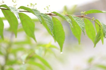 雨の葉っぱ.JPG