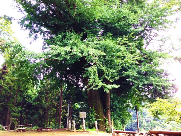 『巨樹を求めて』