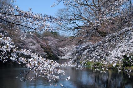 桜のみごろ