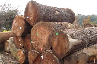 KAGURAが家具作りに用いる木は、樹齢80年から150年程度のものがほとんど