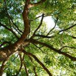 クスノキ 国産香木としての知られざる歴史