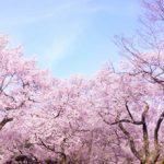 サクラと日本人の関係性
