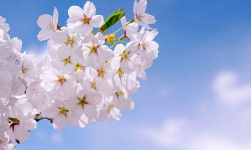 「木の深イイ話」 -山桜について -
