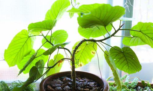 「大きな」観葉植物、お勧めは?